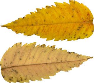 Leaves single autumn 0140