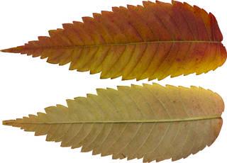Leaves single autumn 0141