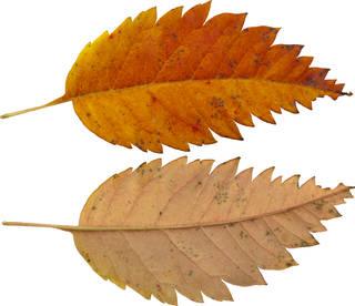 Leaves single autumn 0142