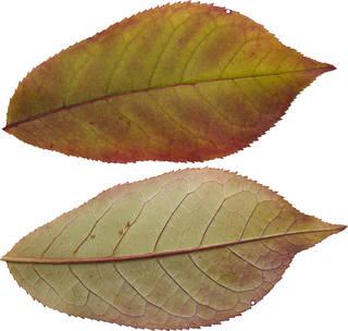 Leaves single autumn 0143
