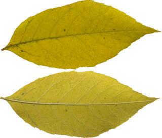 Leaves single autumn 0144