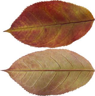 Leaves single autumn 0146