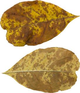 Leaves single autumn 0147