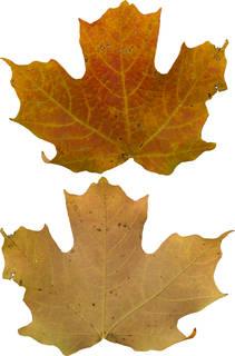 Leaves single autumn 0148