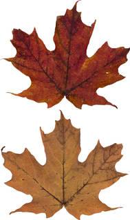 Leaves single autumn 0149