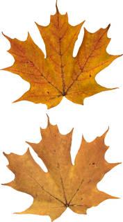 Leaves single autumn 0150