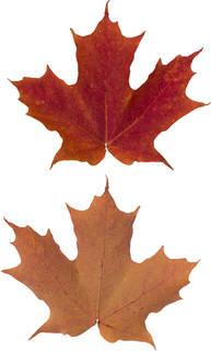 Leaves single autumn 0151