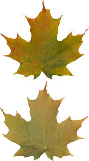 Leaves single autumn 0152