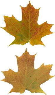 Leaves single autumn 0153