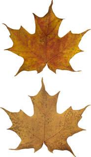 Leaves single autumn 0154