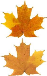 Leaves single autumn 0155