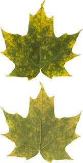Leaves single autumn 0156