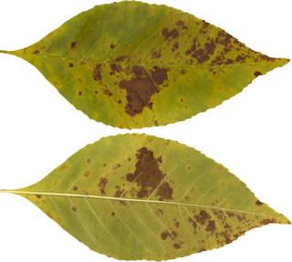 Leaves single autumn 0159