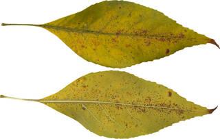 Leaves single autumn 0160