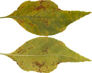 Leaves single autumn 0161