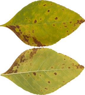 Leaves single autumn 0162
