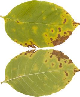 Leaves single autumn 0163