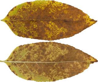 Leaves single autumn 0164