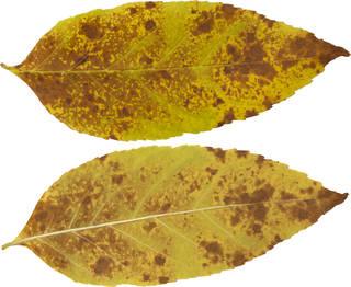 Leaves single autumn 0165