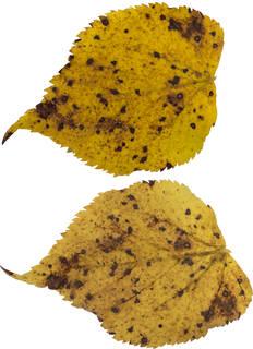Leaves single autumn 0166
