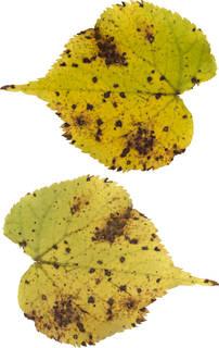 Leaves single autumn 0167