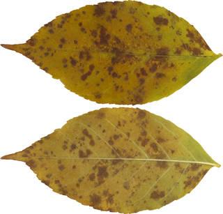 Leaves single autumn 0168