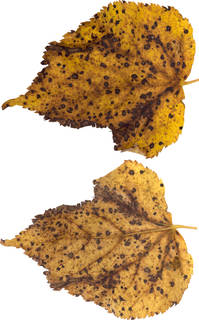 Leaves single autumn 0169