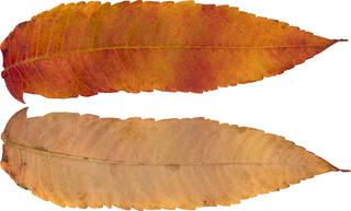 Leaves single autumn 0171