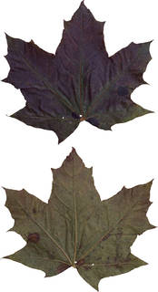 Leaves single autumn 0172