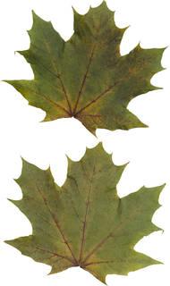 Leaves single autumn 0173