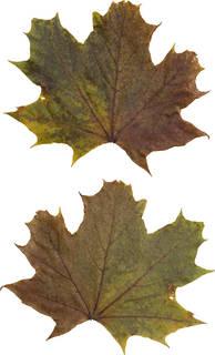 Leaves single autumn 0174