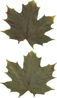 Leaves single autumn 0175