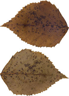 Leaves single autumn 0176