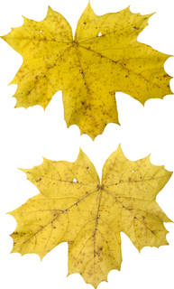 Leaves single autumn 0177