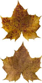 Leaves single autumn 0178