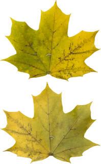 Leaves single autumn 0179