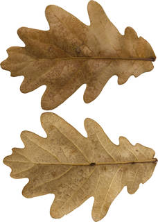 Leaves single autumn 0182