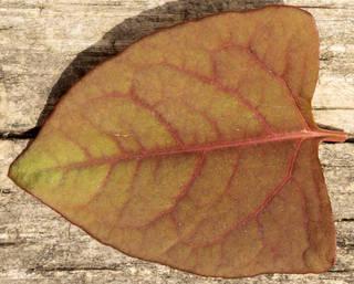 Leaves single autumn 0191