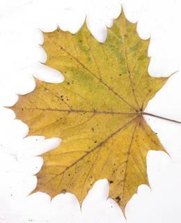 Leaves single autumn 0193