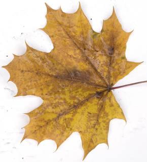 Leaves single autumn 0194