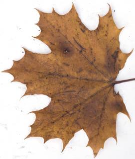 Leaves single autumn 0195