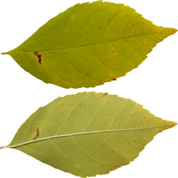 Leaves Single Category