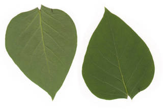 Leaves single 0065
