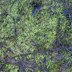 Moss Category