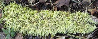 Moss 0012
