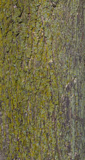 Mossy tree bark 0001