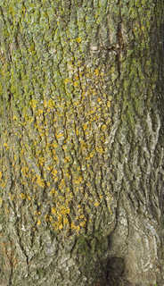 Mossy tree bark 0003