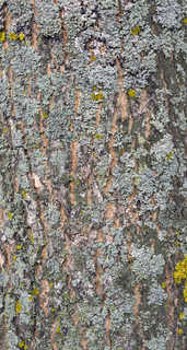 Mossy tree bark 0004