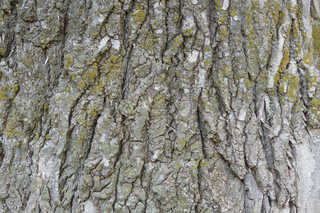 Mossy tree bark 0005