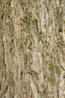 Mossy tree bark 0006